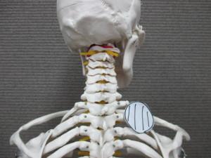 首の付け根の痛み(1)
