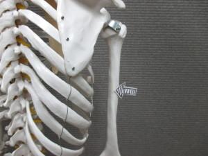 上腕骨内側上顆炎(2)