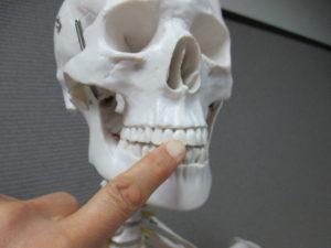 上の前から2番目の歯